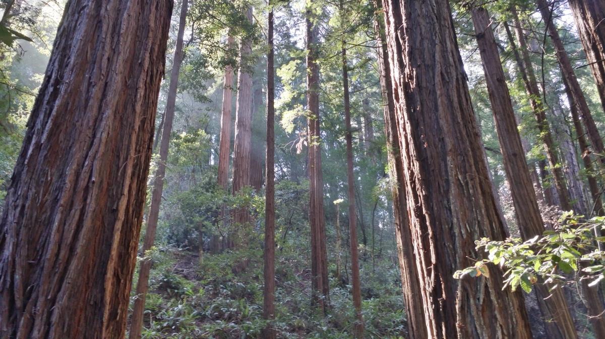 MuirWoodsSunnyTrees